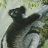 «Indri»