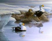 «Printemps arctique – Eiders à tête grise»*